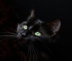 Ebène, chat Angora turc