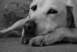 Scott, chien Labrador Retriever