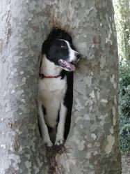 Vérone, chien Border Collie