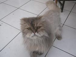 Léo, chat Persan