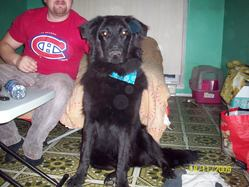 Jack, chien Flat-Coated Retriever