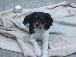 Pistache, chien Épagneul breton