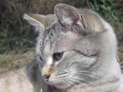 Félie, chat Européen