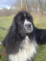 Baloo, chien Terre-Neuve
