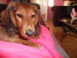 Plum, chien Teckel
