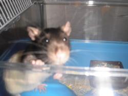 Mimoune, rongeur Rat