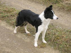Roxy, chien Border Collie