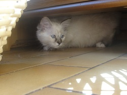 Felina, chat Birman