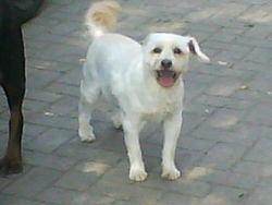 Fido, chien Bichon à poil frisé