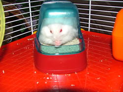 Lucien, rongeur Hamster