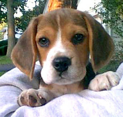 Tanque, chien Beagle-Harrier