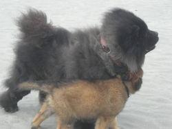 Souka, chien Berger belge