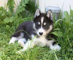 Fifty, chien Husky sibérien