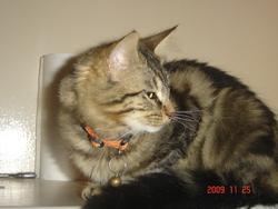 Jessy, chat Européen