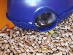 Chips, rongeur Rat