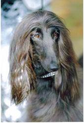 Djina, chien Lévrier afghan