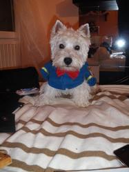 Eliot, chien West Highland White Terrier