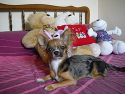 Guess, chien Chihuahua