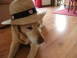 Russule, chien Labrador Retriever