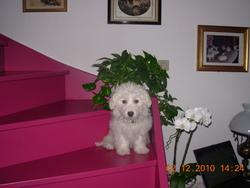 Arthur, chien Bichon maltais