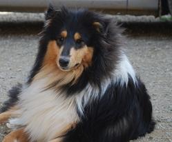 Famous Black, chien Colley à poil long