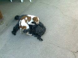 Diane , chien Épagneul breton