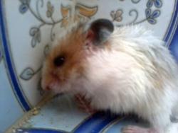 Blonchét, rongeur Hamster