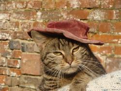 Tichat, chat Européen