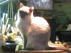 Fléo, chat Siamois