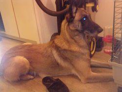 Vip, chien Berger belge