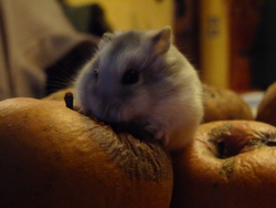 Youli, rongeur Hamster
