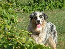 Denzel , chien Berger australien