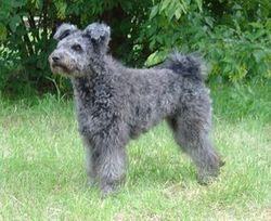 Pilisi-Kocos Csipke, chien