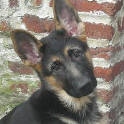 Gaia, chien Berger allemand