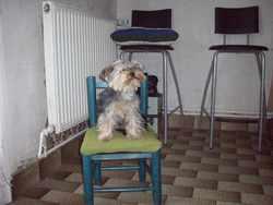 Eclipse, chien Yorkshire Terrier