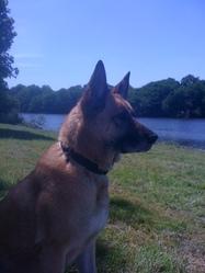 Spartacus , chien Berger belge