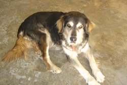 Obélix , chien