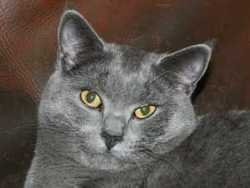 Menthe, chat Chartreux