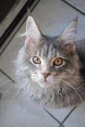 Gallia, chat Maine Coon