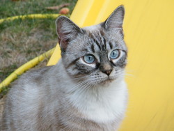 Fifille, chat Siamois