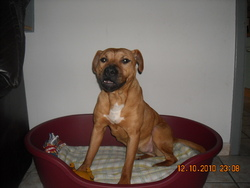 Tina, chien American Staffordshire Terrier