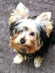 Chiffon, chien Yorkshire Terrier