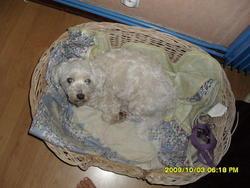 Aramis, chien Bichon à poil frisé