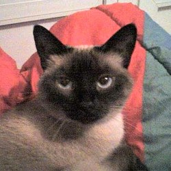 Poussycat, chat Siamois