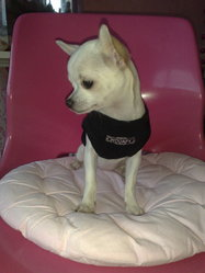 Enjee, chien Chihuahua