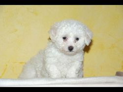 Coxy, chien Bichon à poil frisé