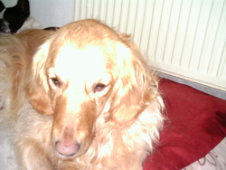 Candy, chien Golden Retriever