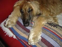 Raya, chien Lévrier afghan