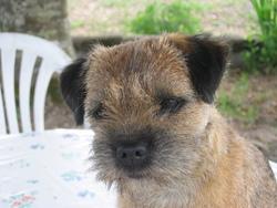 Baya, chien Border Terrier