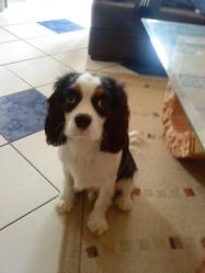 Ruby, chien Cavalier King Charles Spaniel
